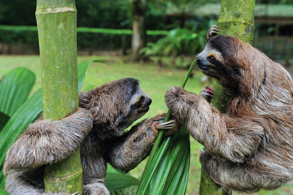 iStock_000012424122Baby-sloths-playing-together_CX