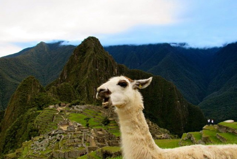 Llama photobomb in Machu Picchu