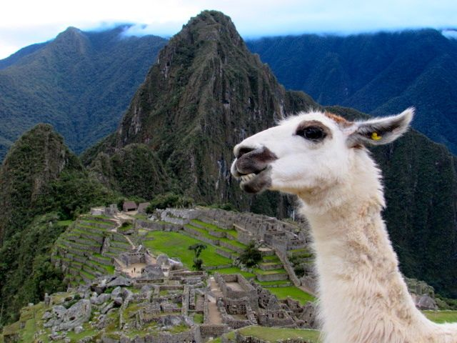 Llama smiling for the camera in Machu Picchu