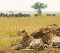 Tanzania, Serengeti National Park, Cheetahs
